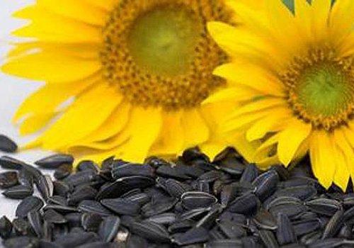 Снижение уровня «плохого» холестерина с помощью семян подсолнечника!