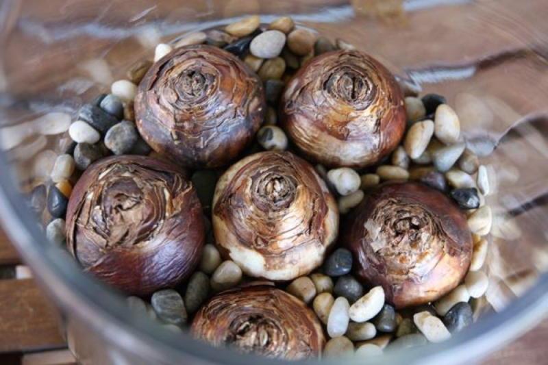 Когда хочется весны: Как вырастить тюльпаны и нарциссы в вазе