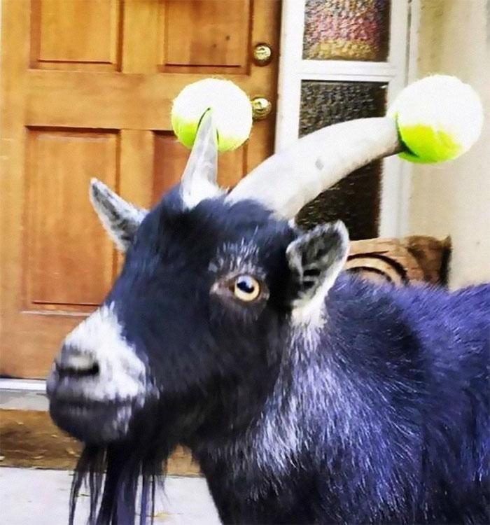 Фермеры придумали оригинальный способ, как защититься от острых рогов своих коз