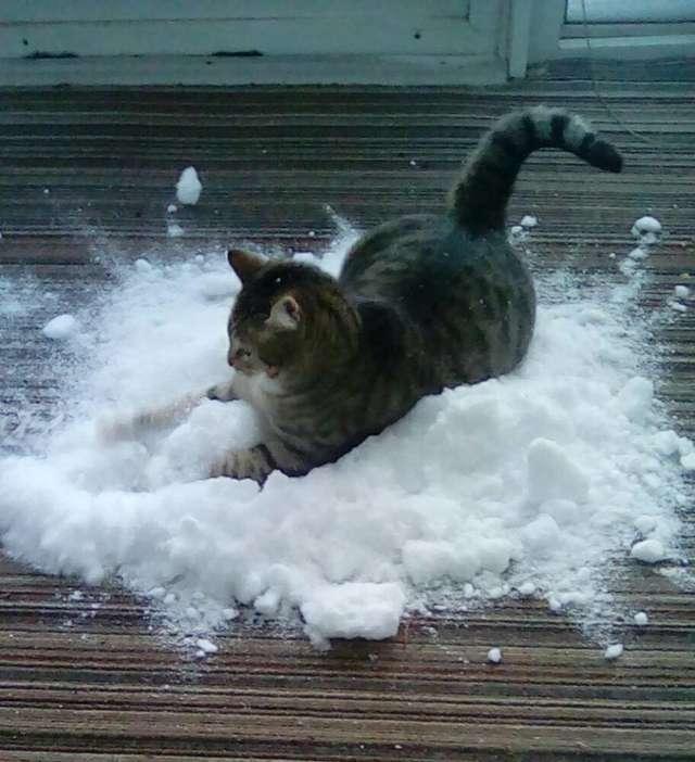 Кот, который обожает снег больше, чем валерьянку