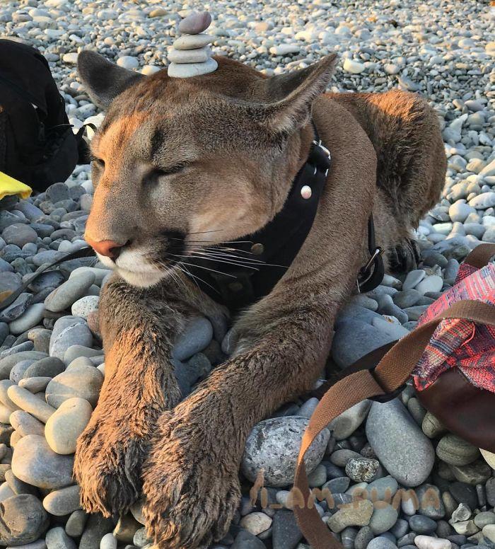 Пара спасла пуму из зоопарка. Большая кошка стала им настоящим другом и домашним любимцем…