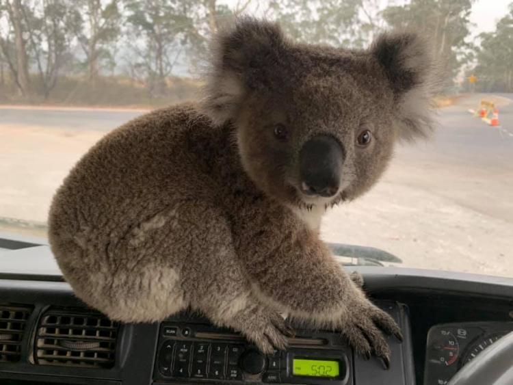 Добрая история о людях, которые спасают коал из пожаров: достойно уважения!