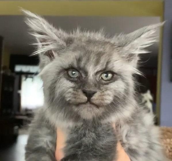 Место, где на свет появляются котята мейн-кунов с самыми загадочными мордашками в мире!