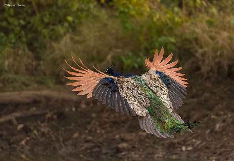 10 редких фотографий павлинов в полете. Шикарное зрелище…