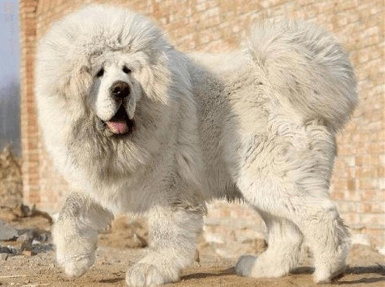Это самая дорогая собака на земле! Посмотрите эти фото. Так выглядит тибетский мастиф…
